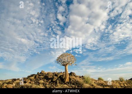 Faretra tree che prende il suo nome che il popolo San o fare dei Boscimani freme per le frecce da esso Foto Stock