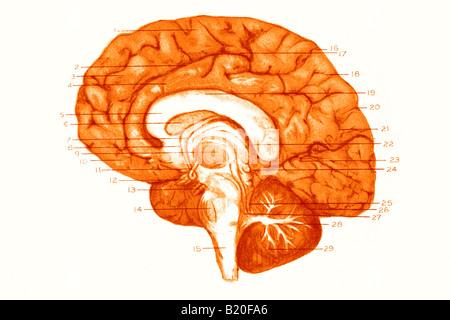 Illustrazione convoluzioni emisfero destro del cervello Foto Stock