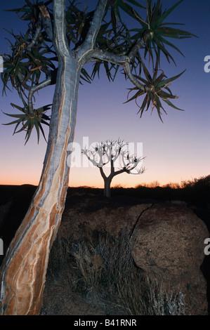 Faretra tree Kocurboom Aloe dichotoma alberi all alba della Namibia in Africa Foto Stock