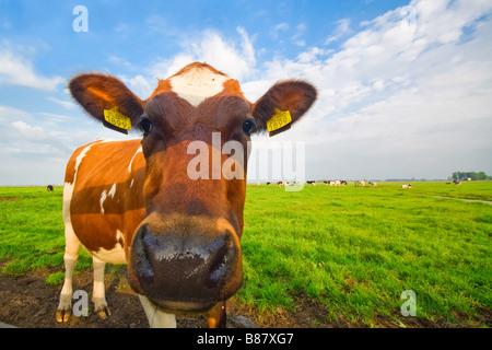 Divertente immagine di un baby cow prese con un obiettivo grandangolare Foto Stock