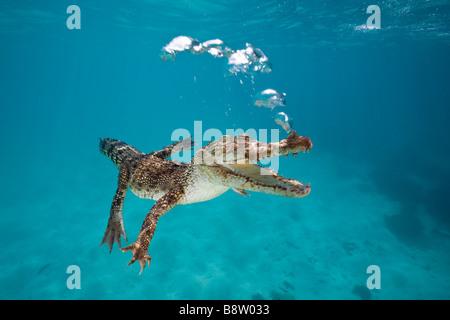 Coccodrillo di acqua salata Crocodylus porosus Queensland Australia Foto Stock