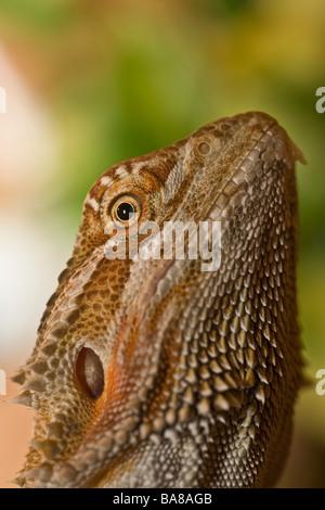 Drago barbuto lizard Foto Stock