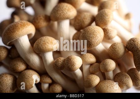 Chiudere fino a marrone di funghi di faggio noto anche come buna shimeji Foto Stock