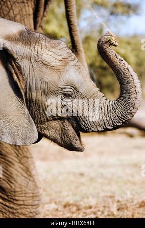 Elefante africano Loxodonta africana i giovani vitelli utilizzando trunk di odore e di esplorare il Sud Africa Dist Foto Stock