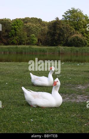 Due oche bianco su un prato Foto Stock