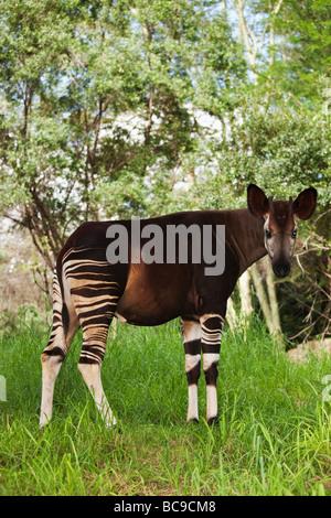 Okapi Herbivorious mammifero con contrassegni insoliti ammiraglia specie della foresta pluviale di Ituri della Repubblica Foto Stock