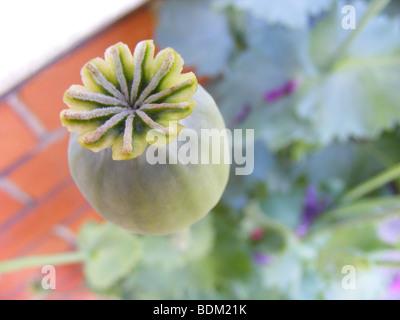 Macro shot del papavero seedhead contro il fondale di una red-muro di mattoni e foglie di papavero. Foto Stock