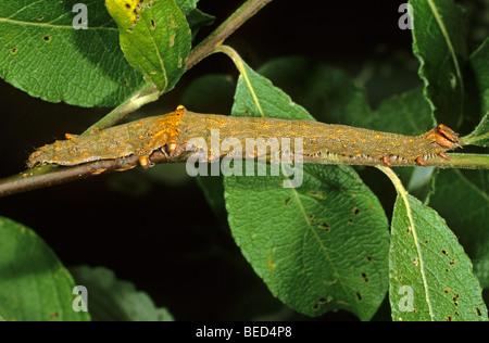 Rosy Underwing Tarma (Catocala electa) caterpillar alimentazione su un ramo di un salice di capra Foto Stock
