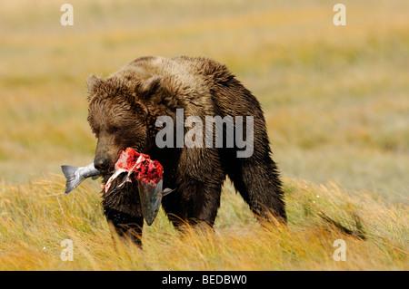 Foto di stock di un Alaskan orso bruno a piedi attraverso un golden sedge prato tenendo un salmone argento. Foto Stock