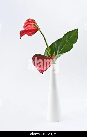 Anthurium fiori in vaso bianco Foto Stock
