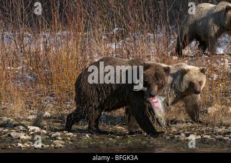 Orso grizzly (Ursus arctos), Salmone Chum nella sua bocca, filiale di pesca sul fiume Ni'iinlii Njik Riserva Ecologica, Foto Stock