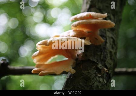 La staffa o mensola fungo o funghi, eventualmente un'ostrica (fungo Pleurotus ostreatus) Foto Stock