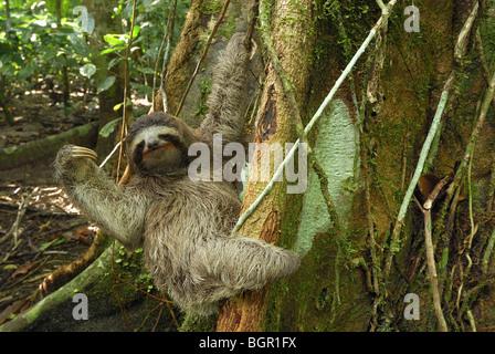 Marrone-throated il bradipo (Bradypus variegatus), Adulto, Parco Nazionale Cahuita, Costa Rica Foto Stock