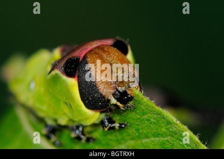 Puss Moth (Cerura vinula) close-up di caterpillar alimentando il salicone, mostrando apparato boccale, Oxfordshire, Foto Stock