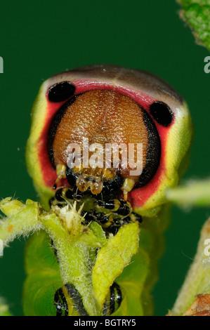 Pus Tarma (Cerura vinula) close-up di caterpillar alimentando il salicone, Oxfordshire, Regno Unito. Foto Stock