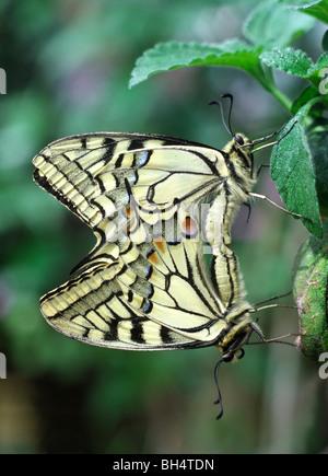 Close-up di una coniugata coppia di calce a coda di rondine (farfalle Papilio demoleus) nel lungo Sutton Butterfly Foto Stock