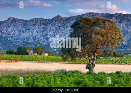Un albero che soffia nella brezza all'alba con Montagne Sainte-Victoire oltre, NR, Puyloubier Bouches-du-Rhone, Foto Stock
