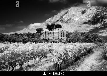 Un vigneto nr Puyloubier & Montagne Ste Victoire, Bouches-du-Rhone, Provenza, Francia Foto Stock