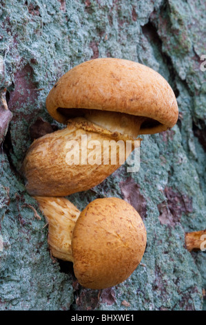 Il miele scuro Fugus (Armillaria ostoyae) Foto Stock