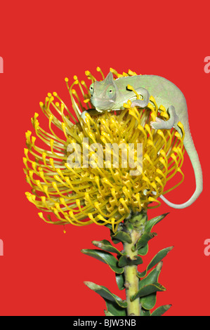 Ritratto di un giovane yemen/velata chameleon(chameleo calyptratus) su un fiore. Foto Stock