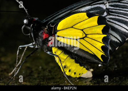 Close up di un giallo e nero comune maschio Birdwing butterfly Troides helena su una roccia bagnata Foto Stock