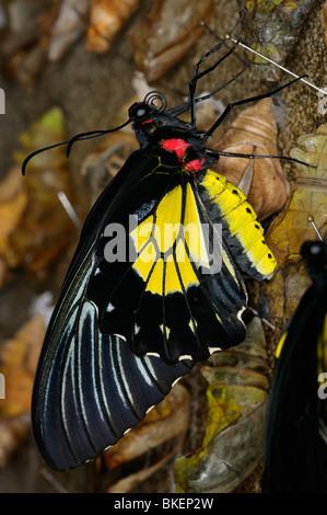 Femmina giallo e nero Papilionidae comune farfalla Troides helena emergente dalla pupa da cova crisalide di Bozzolo Foto Stock
