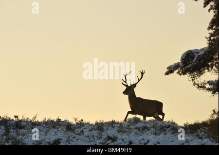 Il cervo (Cervus elaphus). Maschio a piedi nella neve-coperta brughiera al crepuscolo. Foto Stock