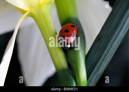 Coccinella septempunctata sette Spot Ladybird Beetle Coccinellidae Coleoptera appoggiata sul fiore di narciso bloom Foto Stock