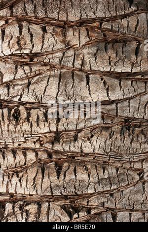 Modelli per la corteccia di un albero di palma Foto Stock
