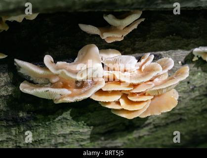 Oyster pallido fungo Pleurotus pulmonarius, Pleurotaceae Foto Stock