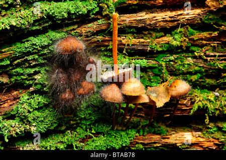 I funghi che crescono su di un registro di essere attaccato da Pin Mold fungo in legno Bramingham, Luton, Bedfordshire Foto Stock