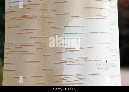 White abbaiato Betulla himalayana di corteccia di albero di close-up (Betula utilis Jacquemontii). Regno Unito Foto Stock