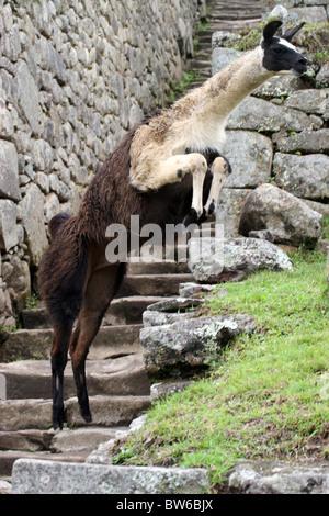 Llama saltando su terrazze a Machu Picchu, Perù, Sud America. Foto Stock