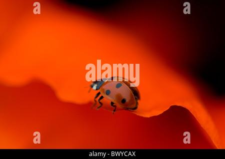 Close-up, immagine macro di un 7-spot Coccinella - coccinella septempunctata poggiante sulla vibrante rosso petalo Foto Stock