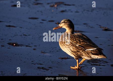 Germano reale Anas platyrhynchos camminando su iced oltre il lago becco femmina ali piedi REGNO UNITO Inghilterra Foto Stock