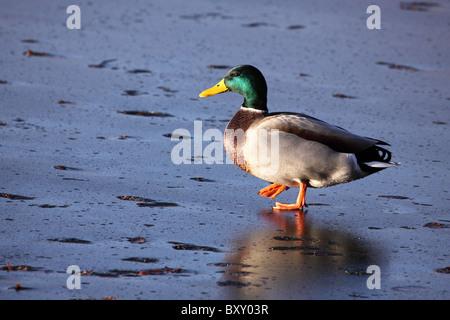 Germano reale Anas platyrhynchos camminando su iced oltre il lago di Drake maschio becco ali piedi REGNO UNITO Inghilterra Foto Stock