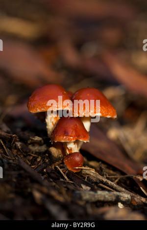 Funghi shot al livello del suolo con una messa a fuoco nitida e profondità di campo. Foto Stock