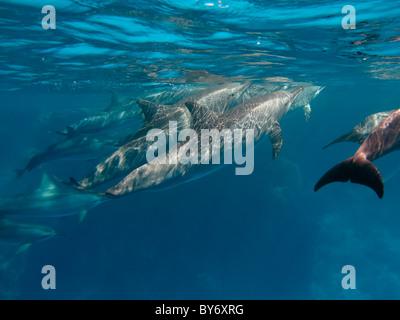 Spinner Delfini Stenella longirostris, Spinnerdelfine, fresatura a Shaab Marsa Alam, Egitto, gruppo subacqueo Foto Stock