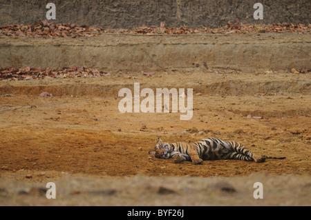 2,5-anno-vecchio maschio di tigre del Bengala in appoggio in una dry man-made waterhole in Bandhavgarh Riserva della Foto Stock