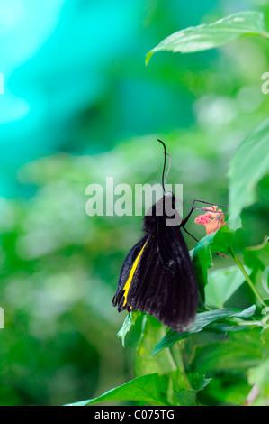 Comune di Papilionidae Troides helena butterfly farfalle tropicali insetto subtropicale wildlife natura kuala Lumpur Foto Stock