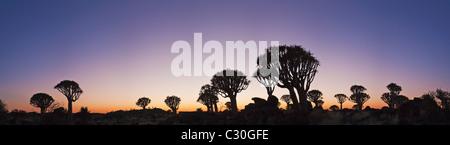 Vista panoramica di un fremito albero o Kocurboom (Aloe dichotoma) è una specie di aloe indigene del Sud Africa Foto Stock