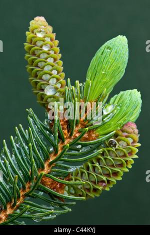 Sviluppo di coni di abete bianco Picea glauca dopo la pioggia nel Michigan STATI UNITI Foto Stock