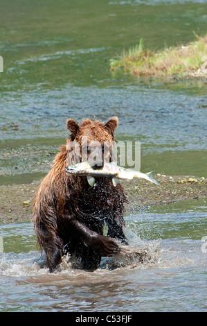 Orso bruno le catture di pesci di Chinitna Bay, il Parco Nazionale del Lago Clark, centromeridionale Alaska, estate Foto Stock