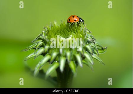 Close-up immagine di una sette-spot Coccinella - Coccinella septempunctata su la gemma di un viola coneflower - Foto Stock