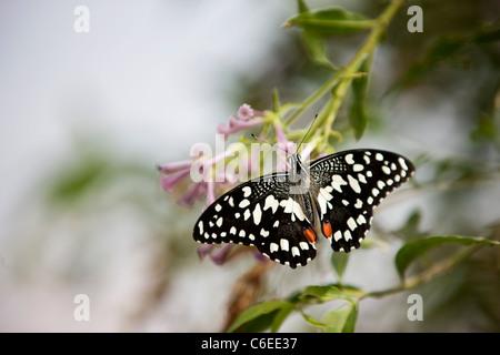 Un Lime, butterfly Papilio Demoleus malayanus su un fiore rosa Foto Stock