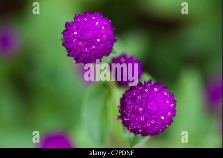 Gomphrena globosa . Amaranto a globo o pulsante di Bachelor fiori in India Foto Stock