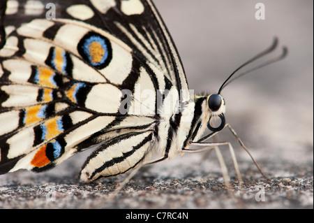 Papilio demoleus . Farfalla di lime Foto Stock