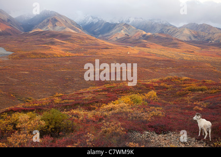 Dall le pecore, policromi Pass, Parco Nazionale di Denali, Alaska. Foto Stock