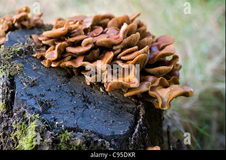 Grumi di colore arancione della staffa a forma di fungo polypore - funghi che crescono su un decadimento mossy ceppo Foto Stock