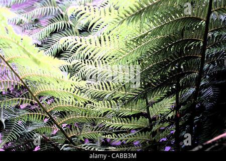 Giu 03, 2004; Los Angeles, CA, Stati Uniti d'America; piante di felce. Foto Stock